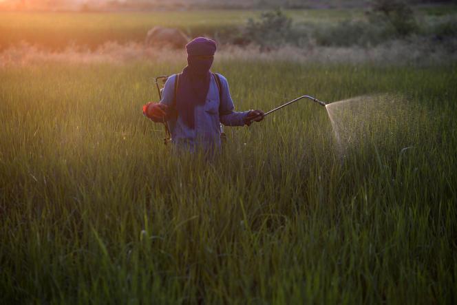 Un agriculteur indien traite une rizière avec des pesticides, dans le nord-ouest du pays, en 2018.