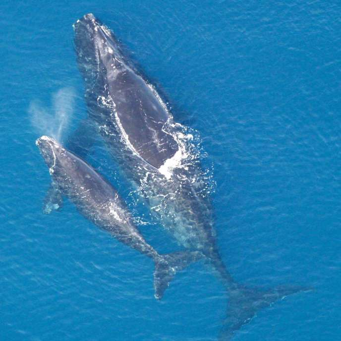 The North Atlantic Right Whale.