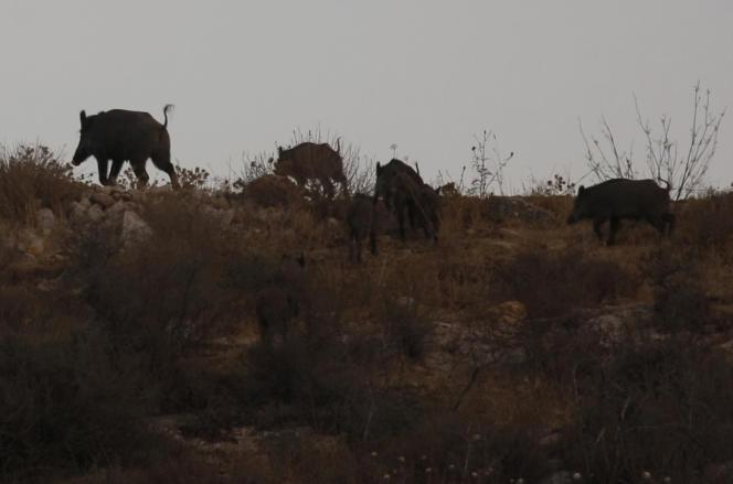La suspension de la chasse a entraîné la prolifération des sangliers. Photo d'illustration.