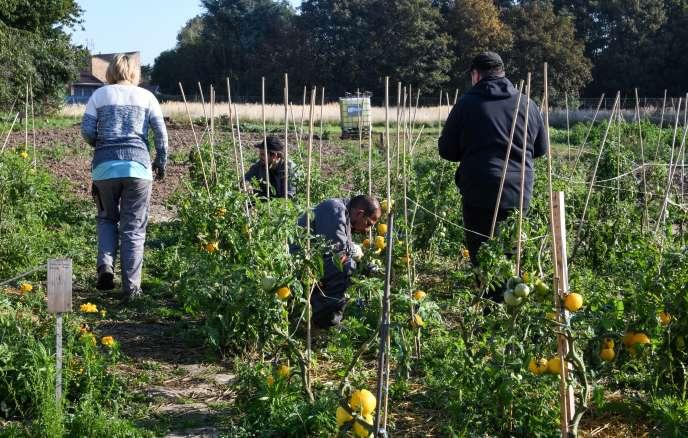 Des bénéficiaires de l'expérimentation « territoire zéro chômeur de longue durée» travaillent dans un jardin potager à Loos, près de Lille, en septembre 2018.