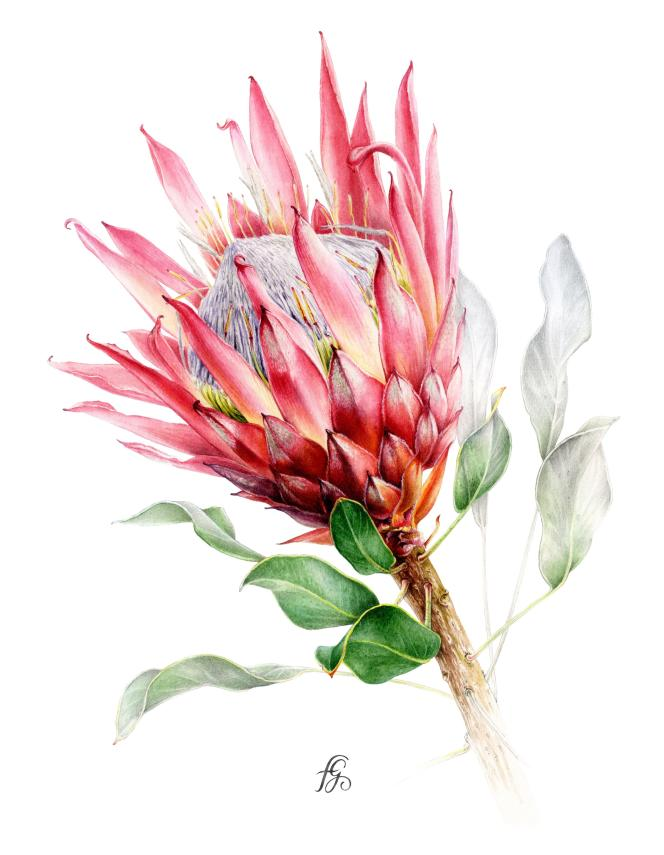 Protea cynaroides «Madiba». Illustration à l'aquarelle et graphite sur papier.