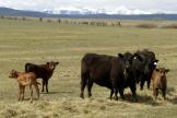 Des bovins, dans un élevage à Calgary, dans l'ouest du Canada, en 2003.