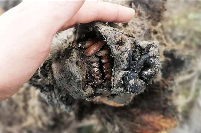 Tête exceptionnellement bien préservée d'un ours des cavernes vieux de 30 000 ans, découvert en Sibérie à l'été 2020.