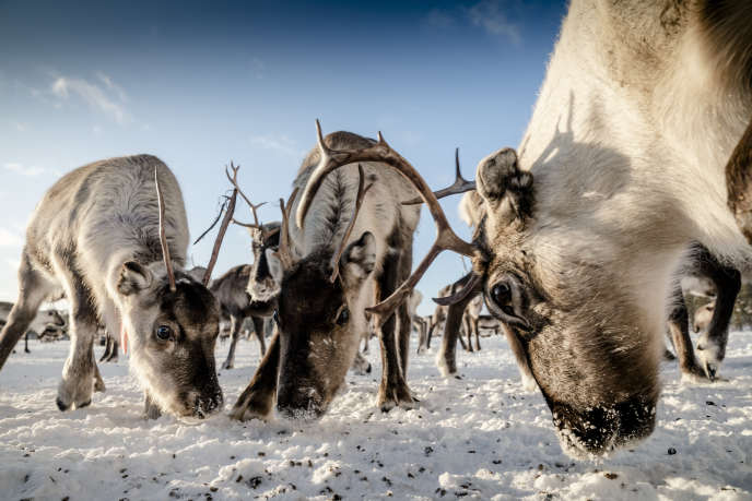 Un troupeau de rennes, au village de Porjus, le 5 février, en Laponie.