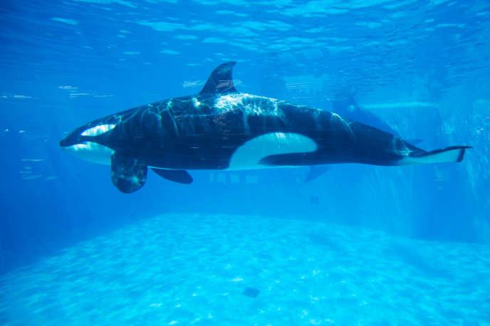 La reproduction des orques en captivité va être interdite, a annoncé la ministre de la transition écologique, Barbara Pompili.