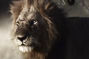 Le lion aux yeux vairons, avec la voix de JoeyStarr, dans «Le Roi bâtard», d'Owen Prümm.