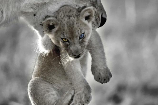 Il était une fois un lionceau né d'un père appartenant au clan des yeux ambre et d'une mère membre du clan des yeux bleus.