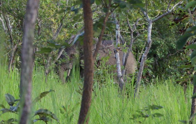 L'éléphant Ahmed dans la réserve naturelle du N'Zi,au nord-est de Bouaké, en septembre 2020.
