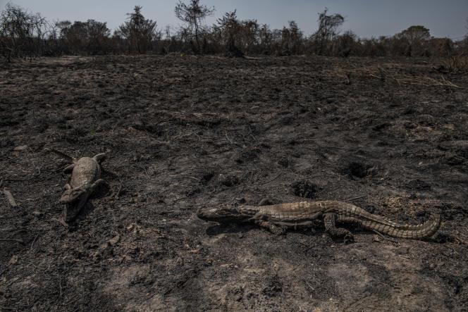 Carcasses calcinées de caïmans sur la route de la Transpantaneira, qui traverse la région du Pantanal, au Brésil, le 24 septembre.