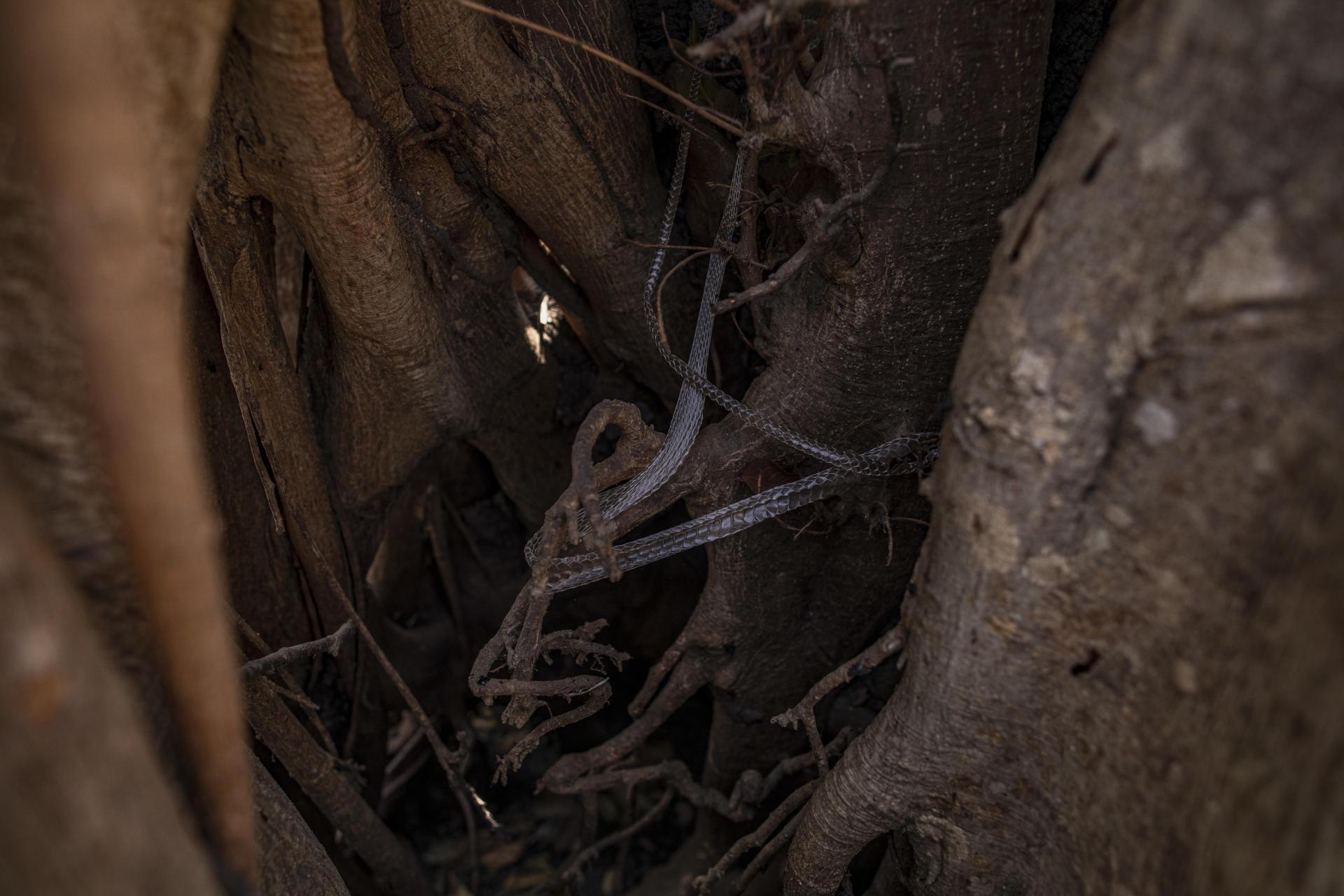 O esqueleto de uma cobra em uma árvore carbonizada ao longo da Transpantaneira, a estrada que corta o Pantanal, no estado de Mato Grosso, Brasil.