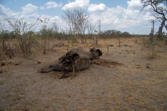Une carcasse d'éléphant dans le parc de Hwange, en novembre 2019.