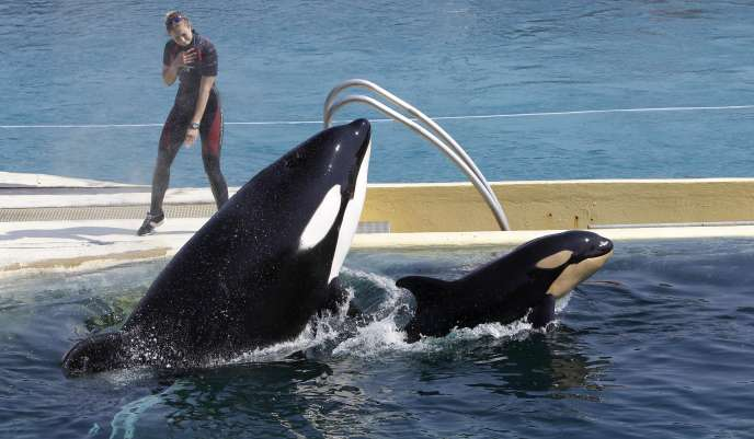 L'orque prénommé «Wikie» saute avec son bébé, au parc aquatique Marineland, à Antibes (Alpes-Maritimes), en avril 2011.