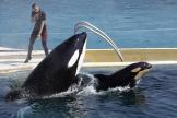 Spectacle d'orques auMarineland d'Antibes (Alpes-Maritimes).