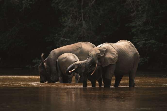 Des éléphants de forêt dans le parc national de la Lopé, au Gabon.