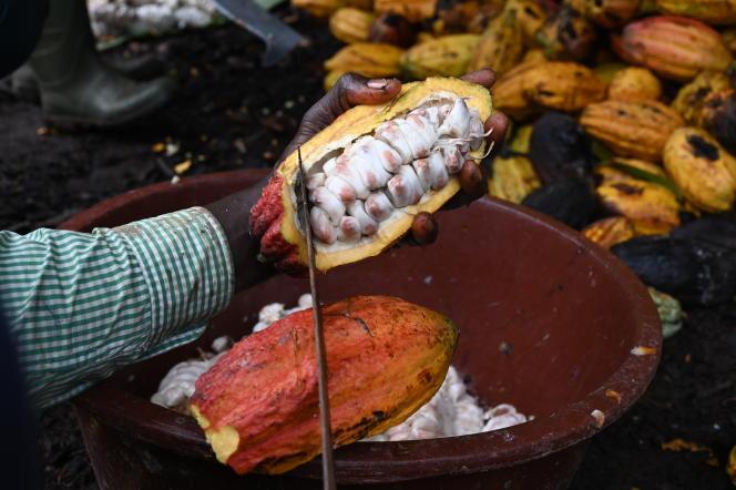 Un producteur de cacao casse des cabosses, dans une plantation à côté de Sinfra, dans le centre de la Côte d'Ivoire, en octobre 2019.