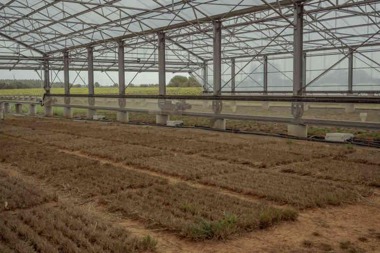SICLEX est un simulateur de Climat Extreme de l'INRA. Il sert à confronter les plantes de prairies à des climats extrêmes (notamment les sécheresses). L'évaluation se fait sur des parcelles, où poussent une hybridation de deux espèces (fétu que et ray-grass d'Italie) ou le croisement entre des variétés de dactyle, ici en photo (plante de milieu tempéré que l'on trouve aussi dans les zones de climat méditerranéen). Lusignan, France 5 octobre 2020 © Agnes Dherbeys / MYOP pour le Monde