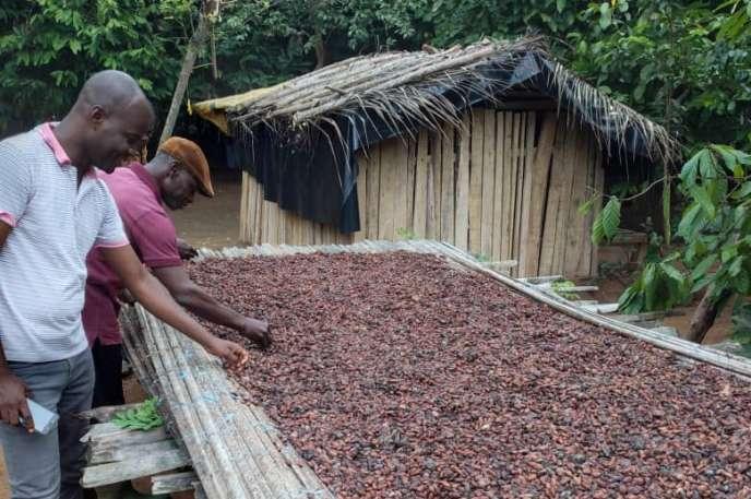 Koman Achi (au second plan) trie les fèves de cacao qui fermentent, à Cardona, en Côte d'Ivoire.