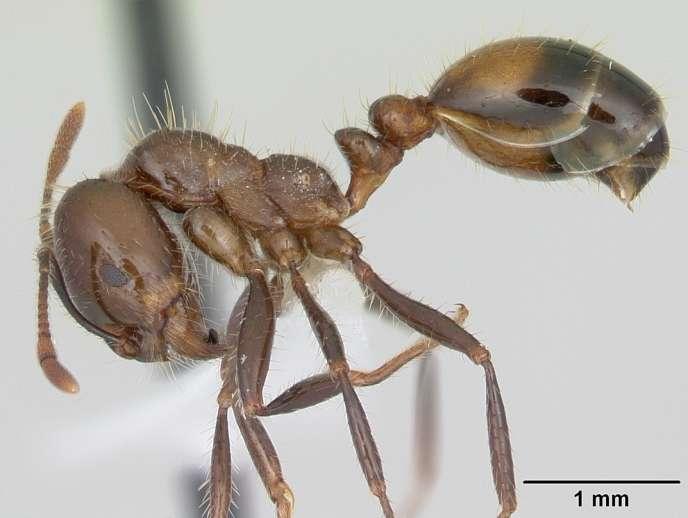 «Solenopsis richteri», la fourmi noire de feu, une espèce invasive aux Etats-Unis.