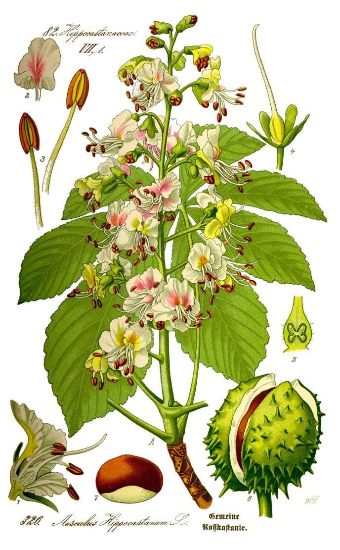 « Aesculus hippocastanum»