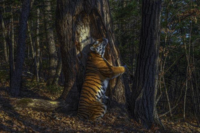 Sergey Gorshkov a déjà été plusieurs fois distingué par ce concours. Il a réussi à capturer cet «instant décisif», après onze mois de traque, grâce à des appareils photo dissimulés dans la forêt.