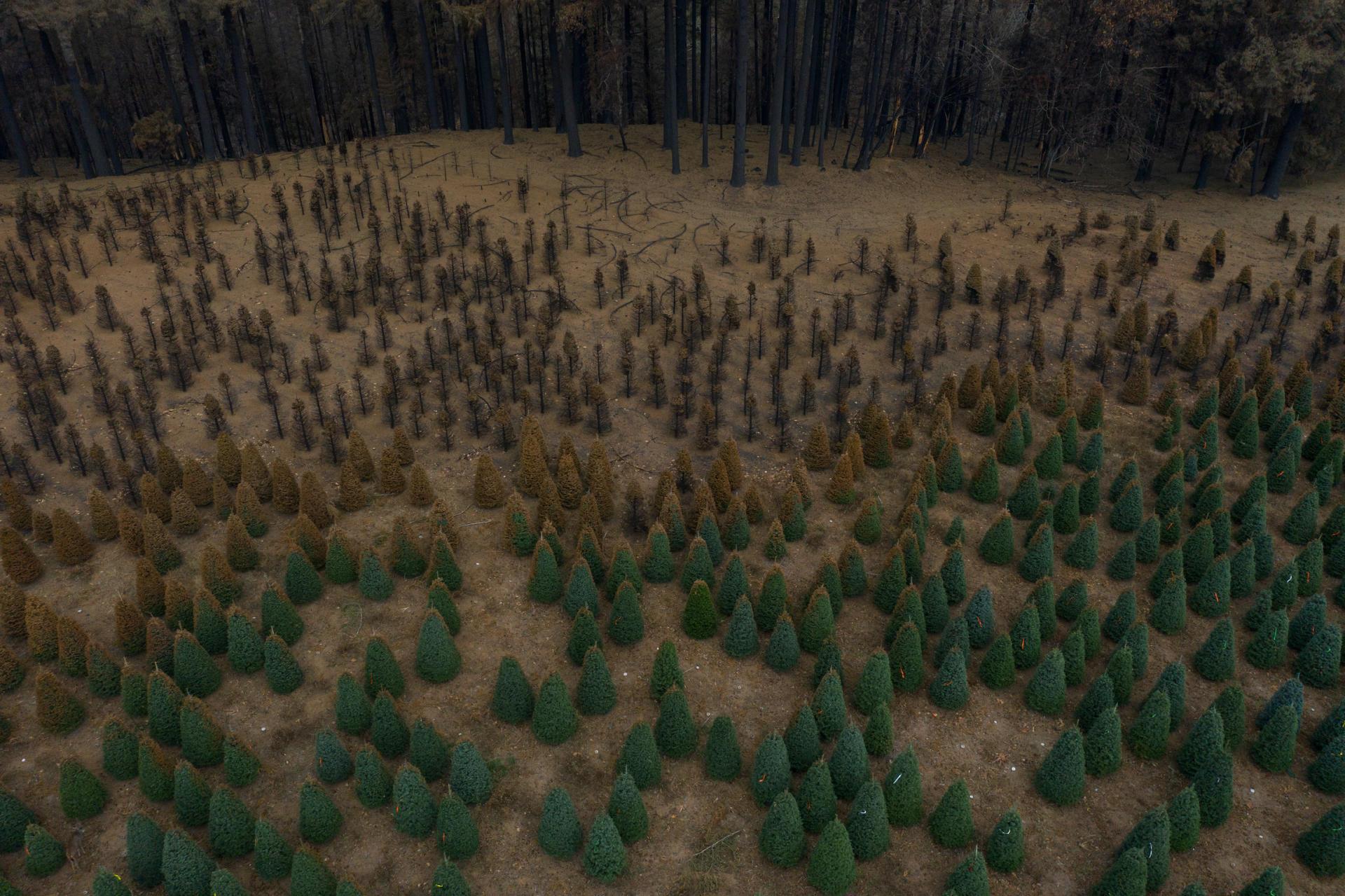 Vu du ciel, des plantations desapins dévastées par les incendies le long de la côte ouest des Etats Unis, à Gates (Oregon).