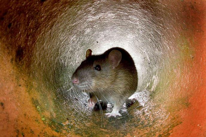 Un rat dans une canalisation à Londres.