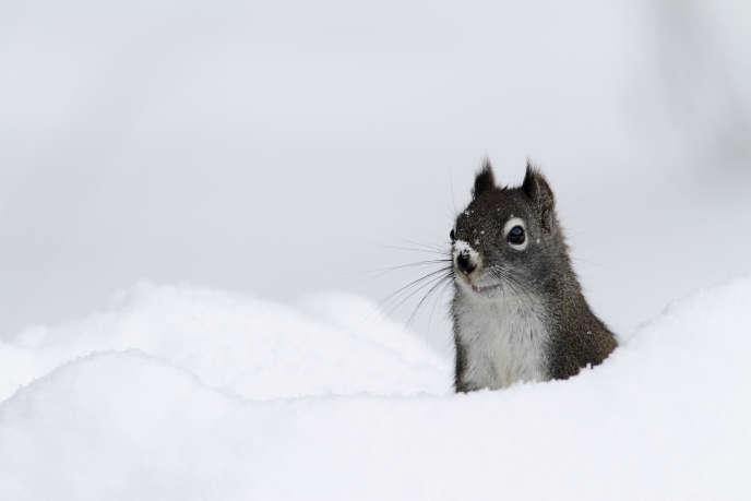 Un écureuil de l'Hudson, dans le Montana, en hiver.