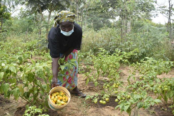 Les femmes de Mbamane, dans la région de Fatick, récoltent les piments.