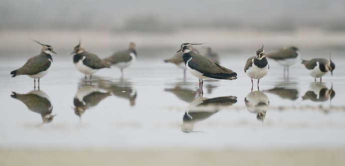 Un groupe de vanneaux huppés sur un étang au nord-est de l'Espagne.
