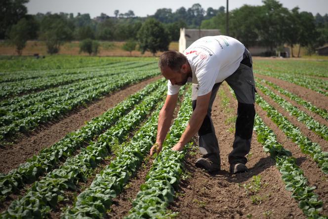 Un champ de salades àVillebernier (Maine-et-Loire), en juillet 2019.