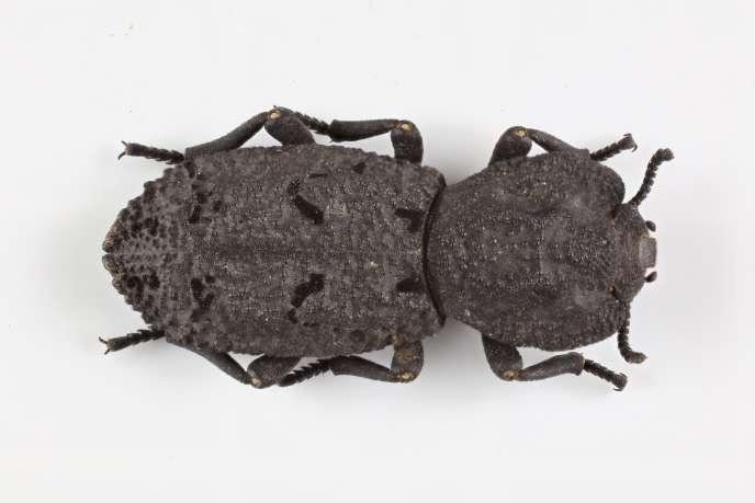 Un scarabée cuirassé diabolique «Phloeodes diabolicus».