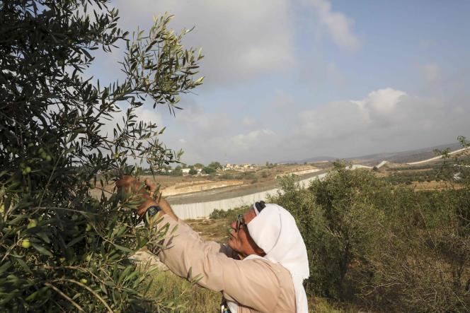 Un fermier palestinien récolte les olives de ses arbres, dans le village de Beit Awwa, au sud-ouest d'Hébron, en Cisjordanie, le 10 octobre.