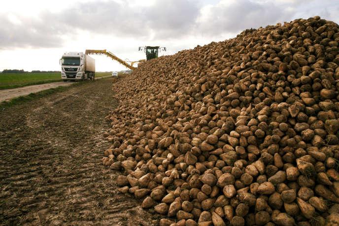 Récolte de betteraves à sucre dans un champ, à Blécourt (Nord), en octobre 2019.