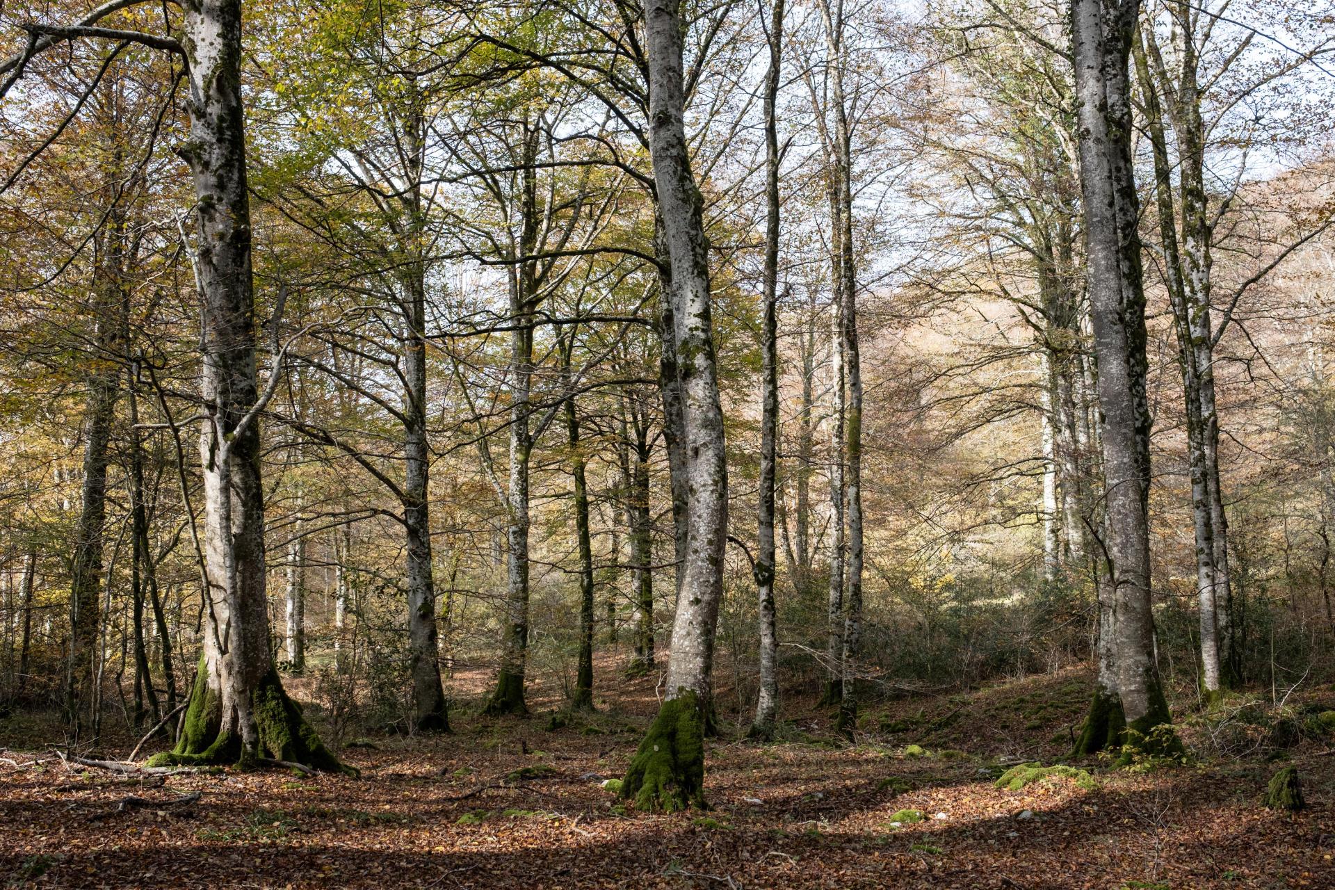 Hêtraie dans la forêt communale de Hèches, vallée d'Aure, dans les Hautes-Pyrénées. Forêt de production gérée par l'ONF.