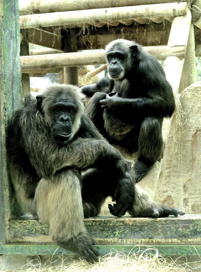 Chimpanzés au zoo de Beauval.