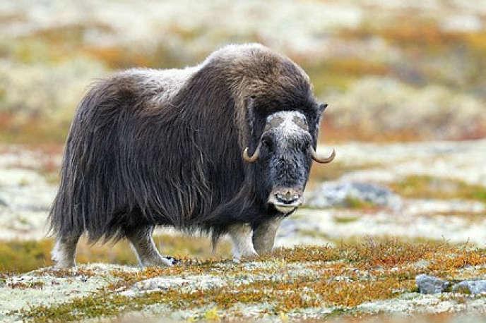 L'ovibos vivait dans les Pyrénes il y a 450 000 ans. On le trouve désormais dans les régions les plus septentrionales du globe. Ici, en Norvège.