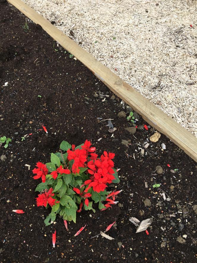 Plantation fleurie et paillage, dans le «jardin citoyen» réalisé avec les élèves des écoles de la cité n°5 de Grenay, dans le bassin minier du Pas-de-Calais. (Paysagistes et designers : L'Atelier de l'Ours.)