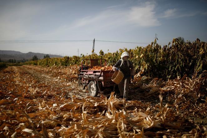 Récolte de maïs dans un champ à la périphérie de Jiayuguan, province du Gansu, Chine, le 28 septembre.