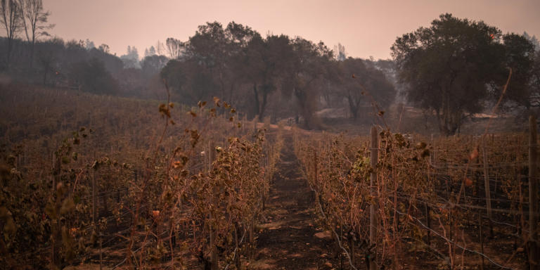 A vineyard is left burned in the aftermath of the Glass Fire in Deer Park, California, U.S. September 28, 2020. REUTERS/Adrees Latif - RC258J9YFTD9