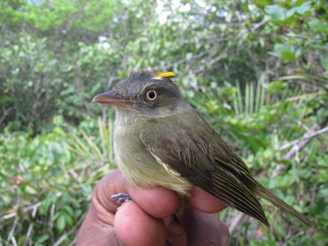 Le manakin à panache doré, ou «Neopelma chrysocephalum», habite uniquement dans les forêts de sable amazoniennes situées au nord de l'Amazonie.