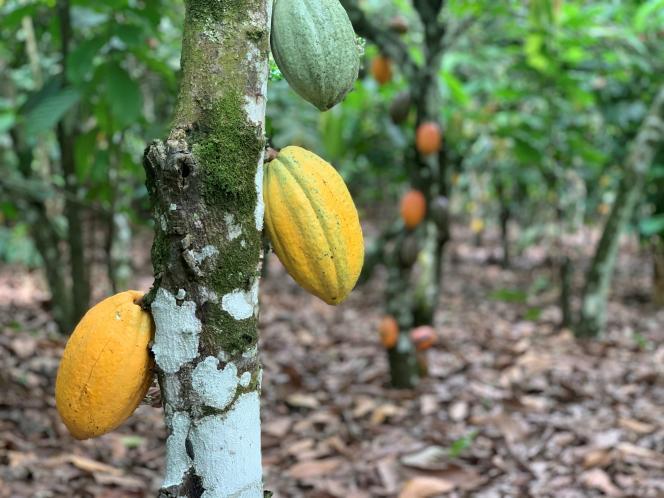 Un champs de cacao à Azaguié, en Côte d'Ivoire, le 27 novembre.
