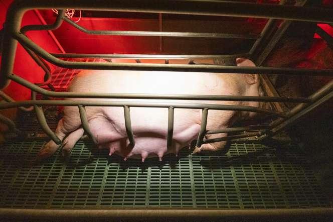 Une truie dans une cage de mise bas, dans un élevage porcin dans l'Allier engagé dans la« filière préférence» d'Herta.