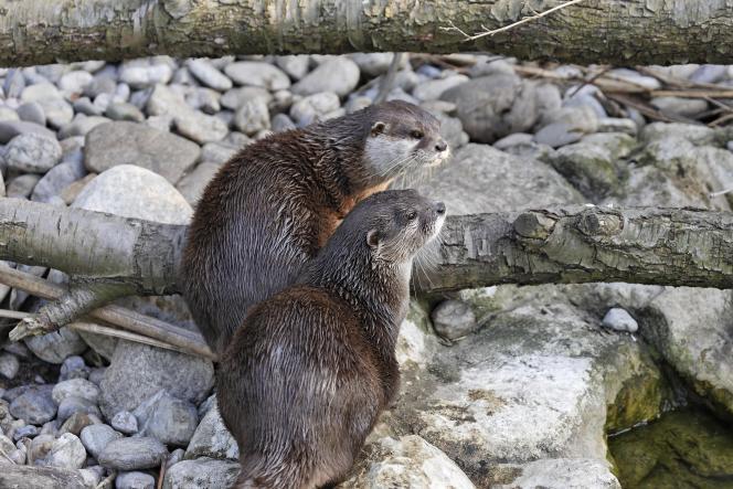 Un couple de loutres cendrées au zoo de Vienne, en Autriche.