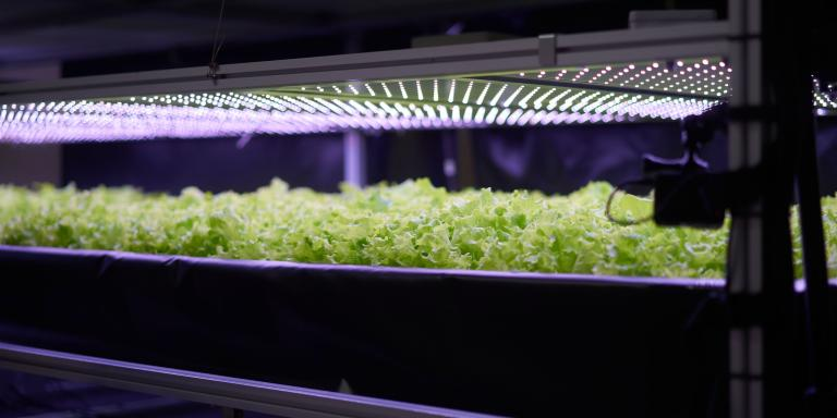 Salad is cultivated at the vertical plant farm 'Nordic Harvest', based in Taastrup, a suburb west of Copenhagen, on November 20, 2020. A purple halo runs over racks where lettuce, herbs and kale will soon be growing: in a commonplace warehouse in an industrial zone on the outskirts of Copenhagen is one of the largest