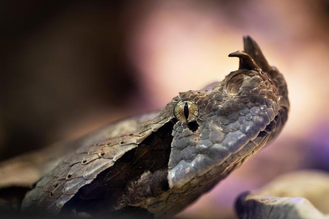 Une vipère du Gabon.