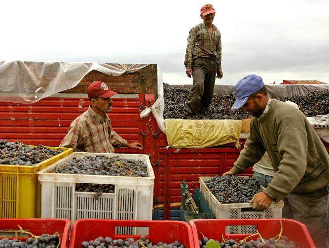 Vendanges à Murefte, à 230 km à l'ouest d'Istanbul, en septembre 2007.