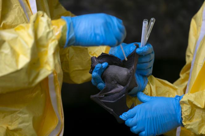 Des chercheurs du Centre interdisciplinaire médical de recherches de Franceville effectuent des prélèvements buccaux et rectaux sur des chauves-souris dans la grotte de Zadié, au Gabon, le 25novembre 2020.