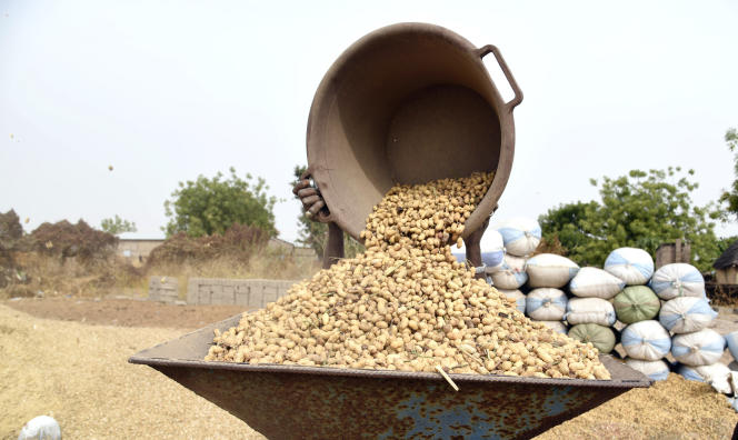 Récolte des arachides dans le village de Guint Kaye, près de Kaolack, en janvier 2020.