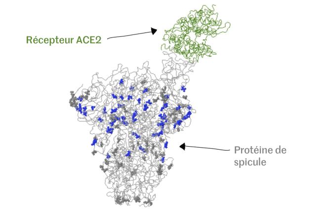 Modélisation en 3D de la protéine de spicule du Sars-CoV-2 s'attachant au récepteur ACE2 d'une cellule humaine.