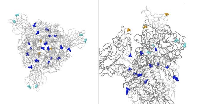 Modèle en 3D de la protéine de spicule du SARS-CoV-2. En couleurs : les mutations observées. En orange : les conséquences de la mutation N501Y.